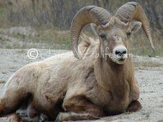 images of resting wildlife Jasper National Park, Rocky Mountain National Park, National Parks, Big Horn Sheep, Animal Totems, Dahl, Rocky Mountains, Spirit Animal, Horns