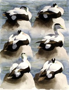 Another great piece of work Six Studies of Resting Eider Drake via www.benwoodhams.com an Expat from the UK living on Bornholm - an island in the Baltic Sea