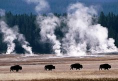 Bison walk past geysers, Yellowstone National Park, Wyo. (© age fotostock/SuperStock)