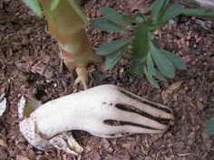 """supposedly an edible fungus;  finger foods for your next party? """"DEVILS FINGERS (or the rather less scary name of Octopus Stinkhorn) - Clathrus archeri 