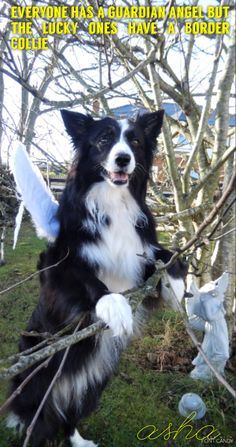EVERYBODY HAS A GUARDIAN ANGEL BUT THE LUCKY ONES HAVE A BORDER COLLIE