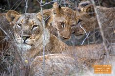 Lioness with Cubs in South Africa