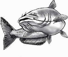 Catfish drawing by drainhook, via Flickr