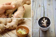¿Te gustaría cultivar tú misma jengibre en casa? Esta planta medicinal es una aliada para nuestra salud que te encantará hacer crecer. Te explicamos cómo.