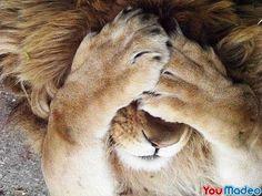 Léo le lion joue à cache cache avec sa petite famille...