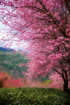 ~~Spring's coming! | cherry blossoms in the tea garden, Taichung, Yilan, Taiwan | by Hanson Mao~~