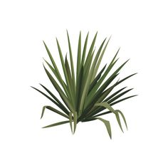 Yucca spp. (Yucca) - Trees/Shrubs/Vines - Vector... ❤ liked on Polyvore Tree Photoshop, Photoshop Images, Photoshop Elements, Landscape Sketch, Landscape Elements, Trees And Shrubs, Trees To Plant, Tree Cut Out, Drawing Scenery
