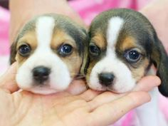 Money can't buy love or happiness but if you invest beagle pups you will have a better situation (minus a few shoes and pieces of underwear that might need chewing)