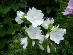 Malva moschata of Kaasjeskruid is een winterharde, bladverliezende vaste plant met een rijke bloei. Deze plant staat mooi in de border en is ook geschikt voor de natuurtuin en verwildering. De plant zaait zichzelf uit. Malva moschata is een aantrekkelijke plant voor vlinders, bijen en hommels. De volwassen plant wordt ongeveer 60 cm hoog. Kan als snijbloem gebruikt worden. Standplaats Malva moschata De plant houdt van een zonnige plek, of eventueel halfschaduw. Zet de plant niet in de…