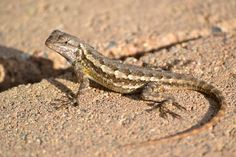 South Coast Botanic Garden, Small Lizards, Reptiles And Amphibians, Flora And Fauna, Bearded Dragon, Earth Tones, Fence, Westerns, Nature Photography