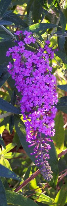 Buddleia - I have some of this in my garden :) The butterflies love it but it grows like mad and keeps springing up all over the place..! :)