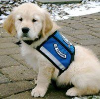 One of Isaiah Comfort Dog's first pictures in his vest! #k9comfortdogs #dogs