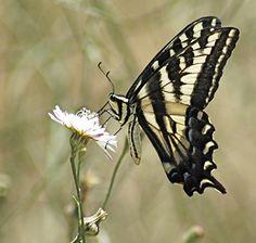 Pale Swallowtail Butterfly | Papilio eurymedon | Swallowtail Butterflies
