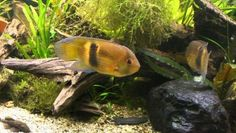 Maronii Cichlid for Sale Online Live Aquarium Fish, Freshwater Aquarium Fish, South American Cichlids, Cichlid Fish, Fish Stock, Tropical Fish, Fresh Water, Exotic, Aquariums