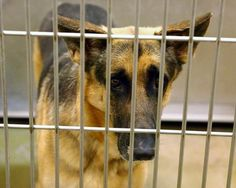 Owners moved and left gorgeous German shepherd at busy animal control Now looking for a new family or rescue.