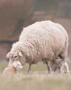 MOMMA SHEEP WITH EWES