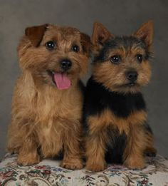 norfolk terrier and norwich terrier. Same dog, different ears. I'll take either. Or both!