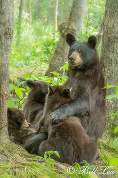The Golden Year Collection Cute Wild Animals, Animals Beautiful, Woodland Critters, The Golden Years, Animals Of The World, Black Bear, Otters, Wildlife Photography, Drawing Reference
