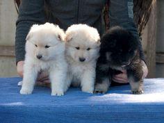 New Finnish Lapphund puppies