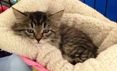 Willow-an-adoptable-kitten-in-Missouri