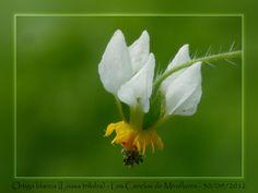 A chilean wild nettle