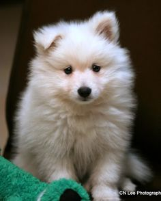 I think the Japanese Spitz is my new love!