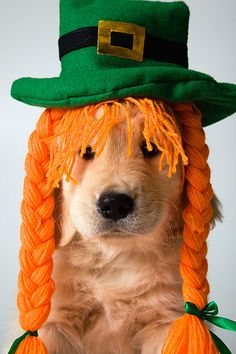 Is this Golden Retriever celebrating St Patrick's Day???