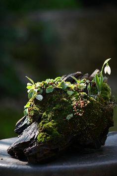 Tiny moss garden with a single snowdrop . Garden Terrarium, Terrariums, Bonsai Garden, Little Gardens, Small Gardens, Air Plants, Indoor Plants, Ikebana, Indoor Garden