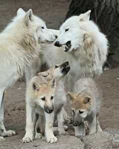 """:-)<<< """"No, Doug. We are NOT taking the kids human watching! Wolf Spirit, My Spirit Animal, Wolf Pictures, Animal Pictures, Wolf Photos, Beautiful Creatures, Animals Beautiful, Berlin Zoo, Canis"""