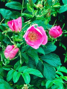 rosa rugosa,or rubra,is shade loving shrub