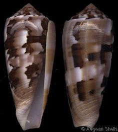 Pionoconus gubernator  Hwass, C.H. in Bruguière, J.G., 1792	 Governor Cone	 Shell size 50 - 106 mm	 Indian Ocean
