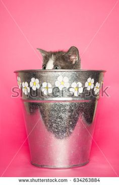 Cute baby cat sticking out flower pot on pink background #shutterstock #photography #microstock #cat