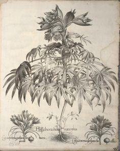 "heaveninawildflower: "" Blue Crocus, Stinkwort. Plate from 'Hortus Eystettensis' by Basilius Besler (1561-1629). Published 1640. Biodiversity Heritage Library. archive.org """