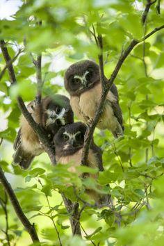 Saw-whet Owl #BirdsofPrey #BirdofPrey #Bird of Prey #LIFECommunity
