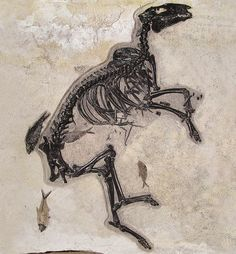 An early relative of the horse – Protorohippus venticolus – about the size of a large dog.  Fossil Butte, which is part of the famous Green River formation.