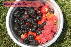 I thought growing berries was nuts because they're always out of control bushes with thorns. - How to Grow Berries - great tutorial on growing strawberries, blackberries and raspberries. Fruit Garden, Edible Garden, Organic Gardening, Gardening Tips, Healthy Meals For Kids, Fruit Trees, Lawn And Garden, Garden Paths, Fruits And Veggies