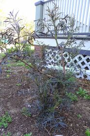Pruning Black Lace Elderberries Black Lace Elderberry, Elderberry Shrub, Black Laces, Shrubs, Outdoor Structures, Gardening, Plants, Fruit, Lawn And Garden