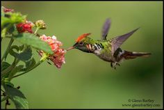 Frilled Coquette enjoying the nectar! Hummingbird Pictures, Hummingbird Moth, Bee Eater, Wild Birds, Beautiful Birds, Bird Feeders, No Frills, Painting & Drawing, Nature Photography