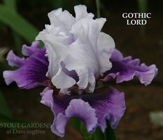 Stout Gardens at Dancingtree - Iris 'Gothic Lord'