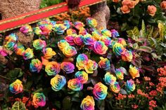 The Rainbow roses were created by Dutch flower company owner Peter Van De Werken, who produced them by developing a technique for injecting natural pigments into their stems while they are growing to create a striking multicolored petal effects. The dye are produced from natural plant extracts and absorbed by the flowers as they grow