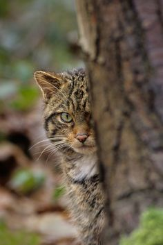 British Big Cats: Scottish Wildcat 'Could Be Made Extinct At Any Moment'