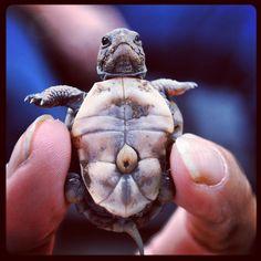 Just born baby turtles
