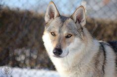 Czechoslovakian Wolfdog Bohun