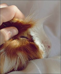 relaxed Guinea Pig