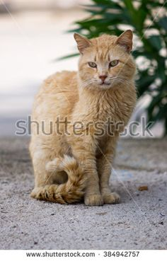 58aaaa2370 Big serious street ginger cat. Lonely cat on the street watching into  nowhere. Cute dirty cat in one of Antalya streets