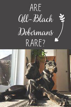 Doberman Colors, Mans Best Friend, Best Friends, Black Doberman, Dobermans, Chihuahua Puppies, Doberman Pinscher, Beautiful Dogs, All Black