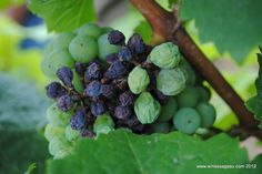 The effects of peronospora on Riesling in the Rheingau