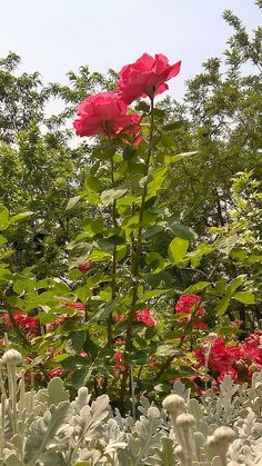 Photo Galleries, Rose, Gallery, Garden, Plants, Pink, Garten, Roof Rack, Lawn And Garden