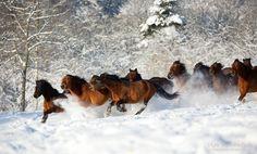 The herd.jpg - The herd of Huzul horses in winter time