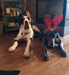 Dec 2017 - Ryker and Diesel . attempting their first Christmas Pictures 2017 Dane Puppies, Great Dane Puppy, Christmas Pictures, Big Dogs, Diesel, Funny Pictures, Pets, Animals, Instagram